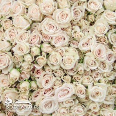 Букет из 101 кустовой розы Порчеллино 70 см