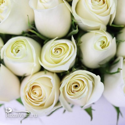 Коробка из 201 белой розы